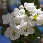 """Запах Весны"" Фото Игоря Чуваина"