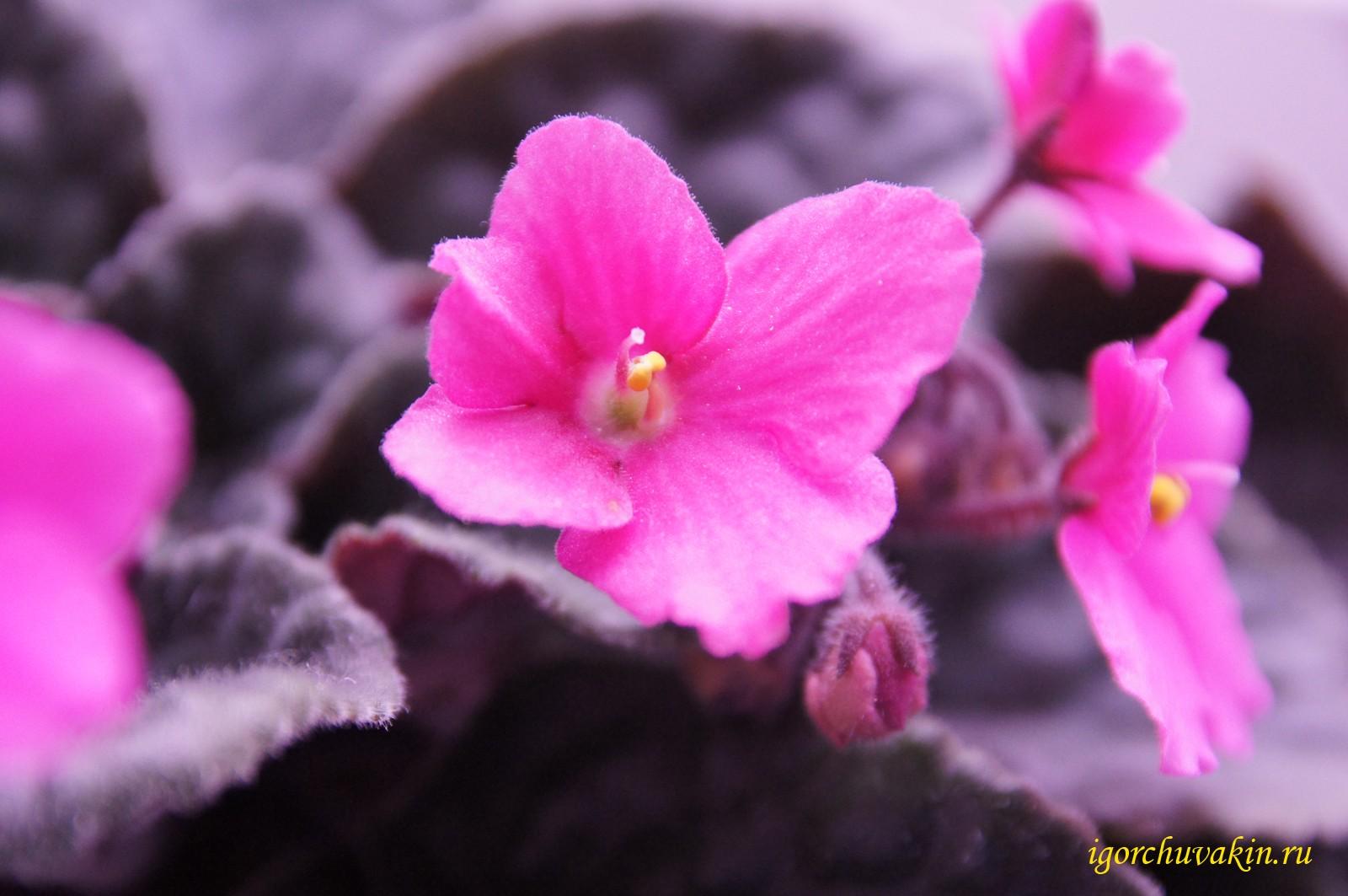 бело розовая фиалка фото я звезда