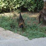 Местные курицы