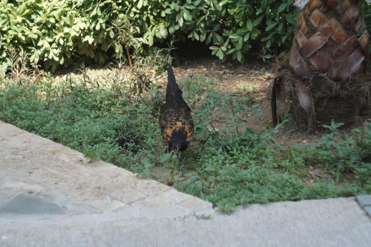 Местные курицы. Отель Utopia World. Турция.