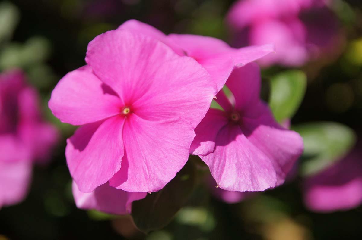 Розовый цветочек. Отель Crowne Plaza. Limassol.