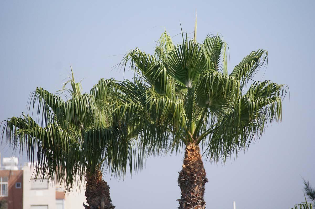 Больше пальм. Отель Crowne Plaza. Limassol.