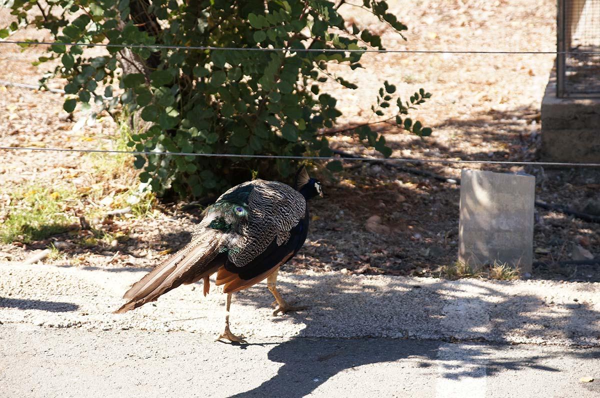 Павлин, Cyprus Paphos zoo, Кипрский зоопарк, Пафос