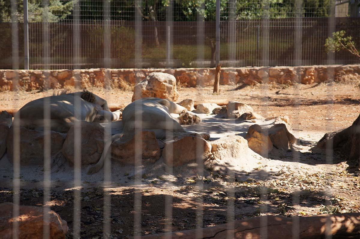 Львы на отдыхе, Cyprus Paphos zoo, Кипрский зоопарк, Пафос