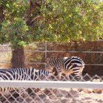Зебры на обеде