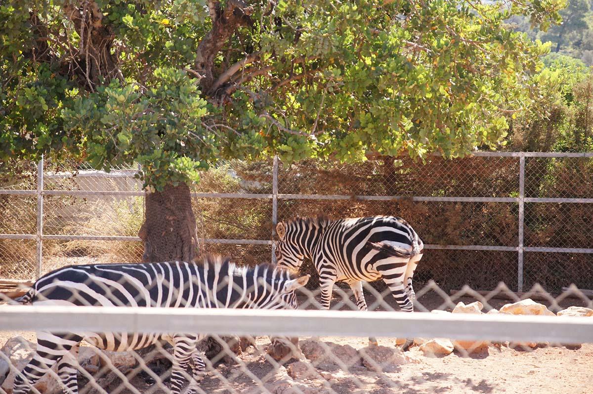 Зебры на обеде, Cyprus Paphos zoo, Кипрский зоопарк, Пафос
