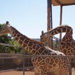 Жирафья нежность