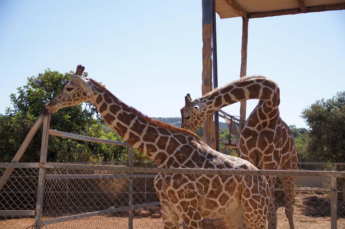 Жирафья нежность, Cyprus Paphos zoo, Кипрский зоопарк, Пафос