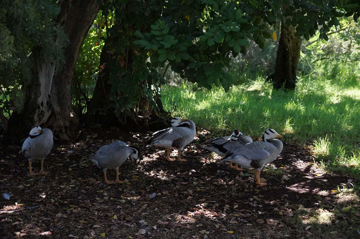 Утиные истории, Cyprus Paphos zoo, Кипрский зоопарк, Пафос