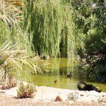 Чёрный лебедь на пруду