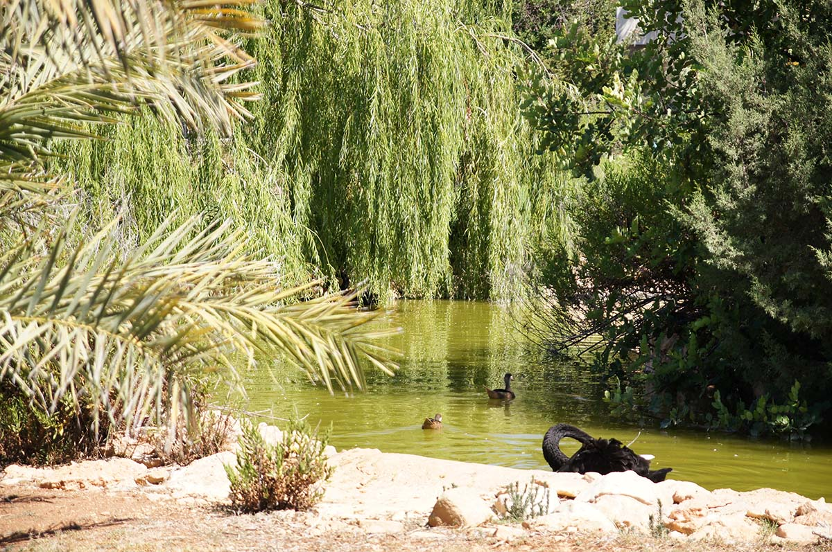 Чёрный лебедь на пруду, Cyprus Paphos zoo, Кипрский зоопарк, Пафос