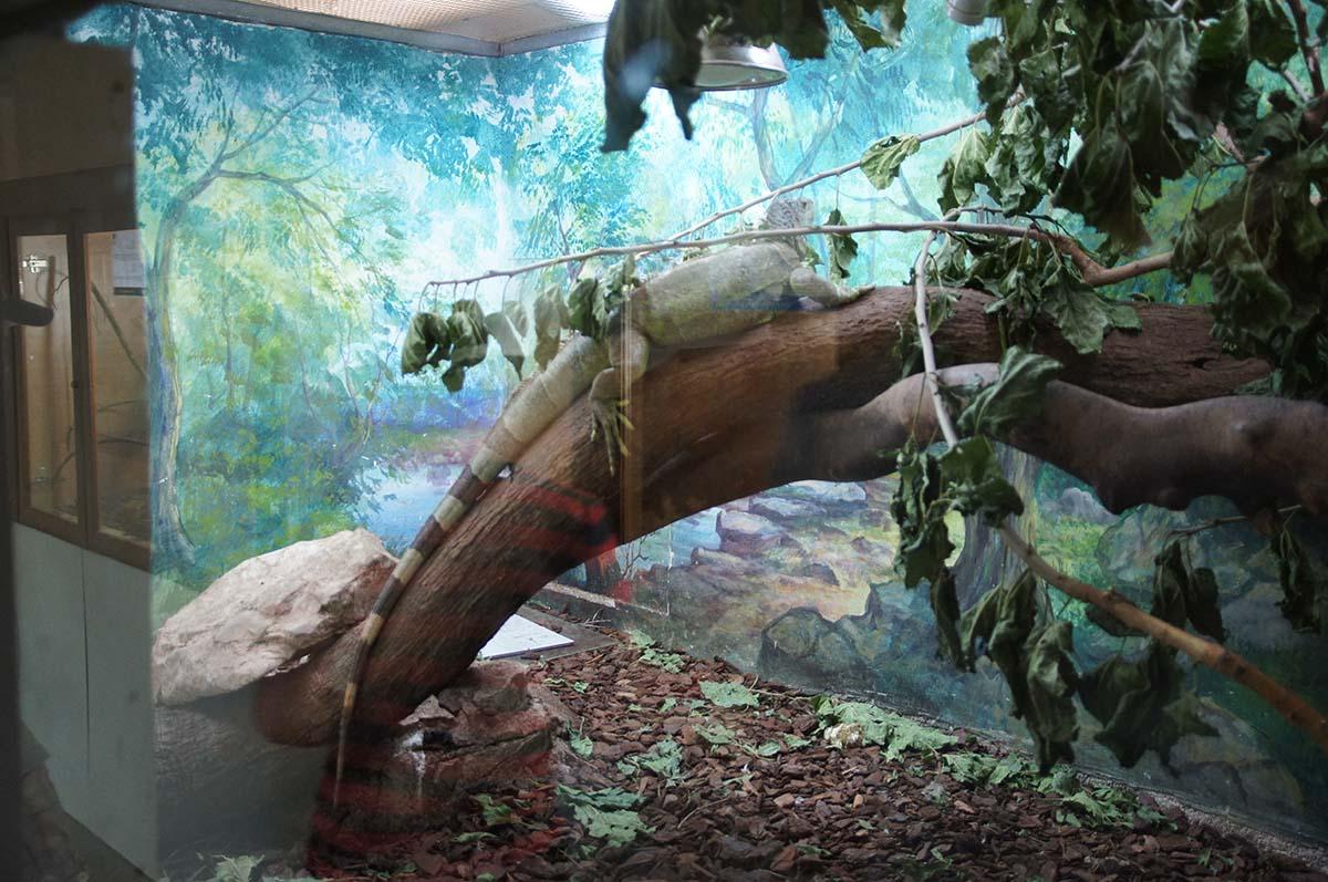 Игуана, Cyprus Paphos zoo, Кипрский зоопарк, Пафос