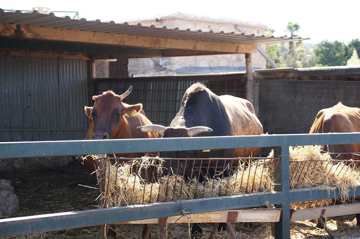Бычки, Cyprus Paphos zoo, Кипрский зоопарк, Пафос