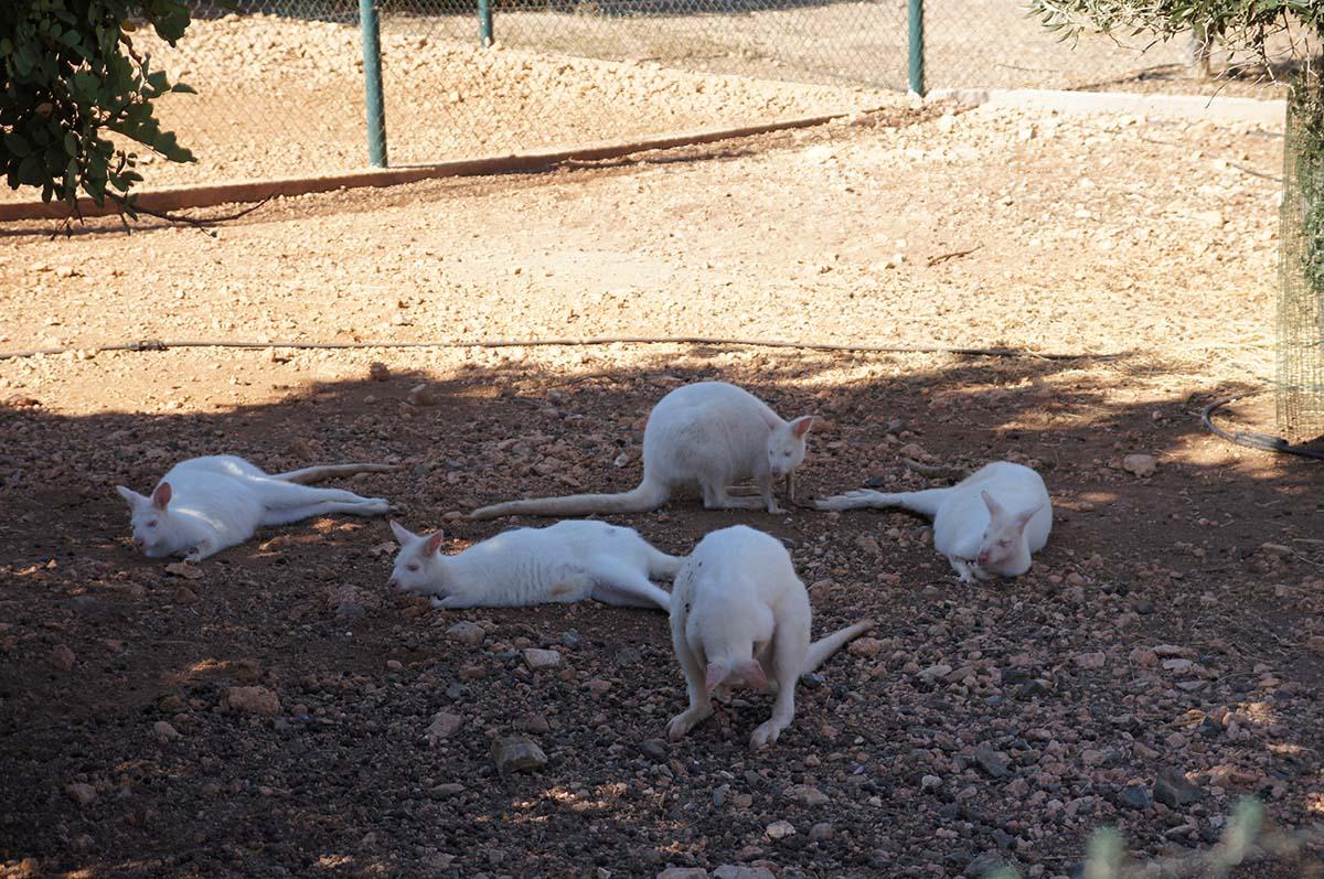 Кенгурята как мышата, Cyprus Paphos zoo, Кипрский зоопарк, Пафос