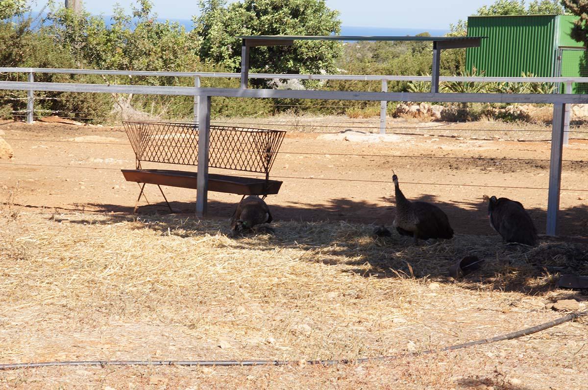 Цесарки в тени, Cyprus Paphos zoo, Кипрский зоопарк, Пафос