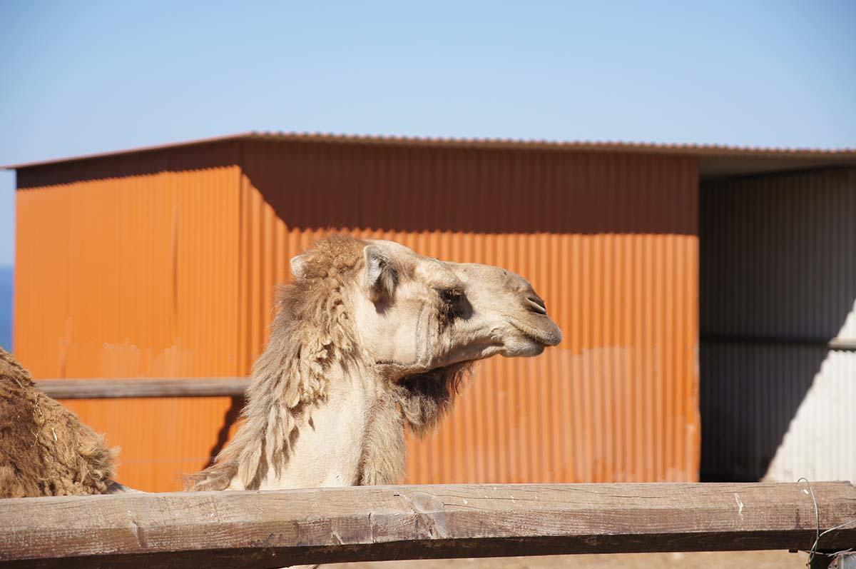 Корабль пустыни, Cyprus Paphos zoo, Кипрский зоопарк, Пафос