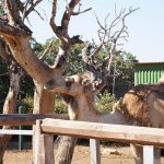 Верблюд и дерево