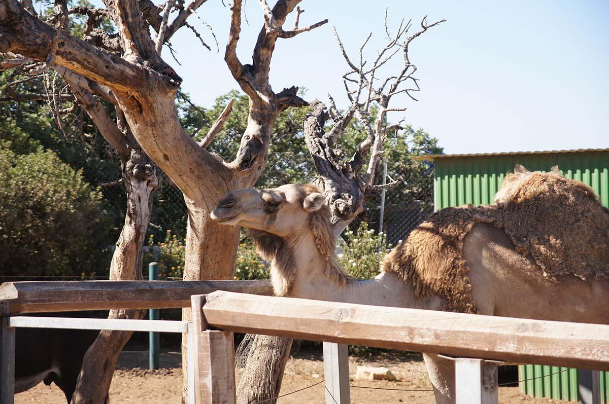 Верблюд и дерево, Cyprus Paphos zoo, Кипрский зоопарк, Пафос