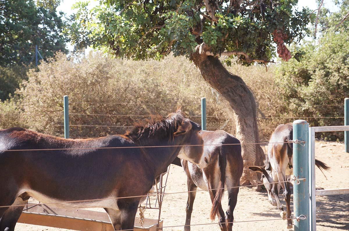 Взрослые мулы, Cyprus Paphos zoo, Кипрский зоопарк, Пафос