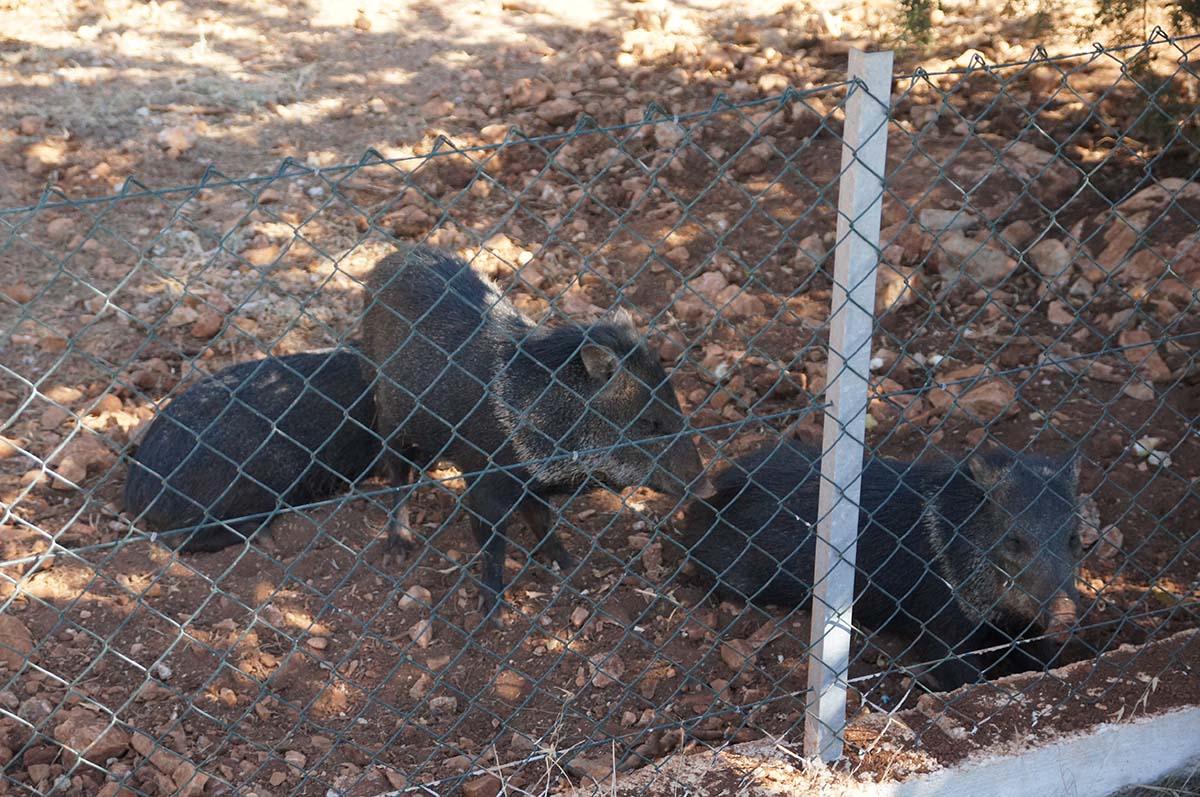 Кабаны, Cyprus Paphos zoo, Кипрский зоопарк, Пафос