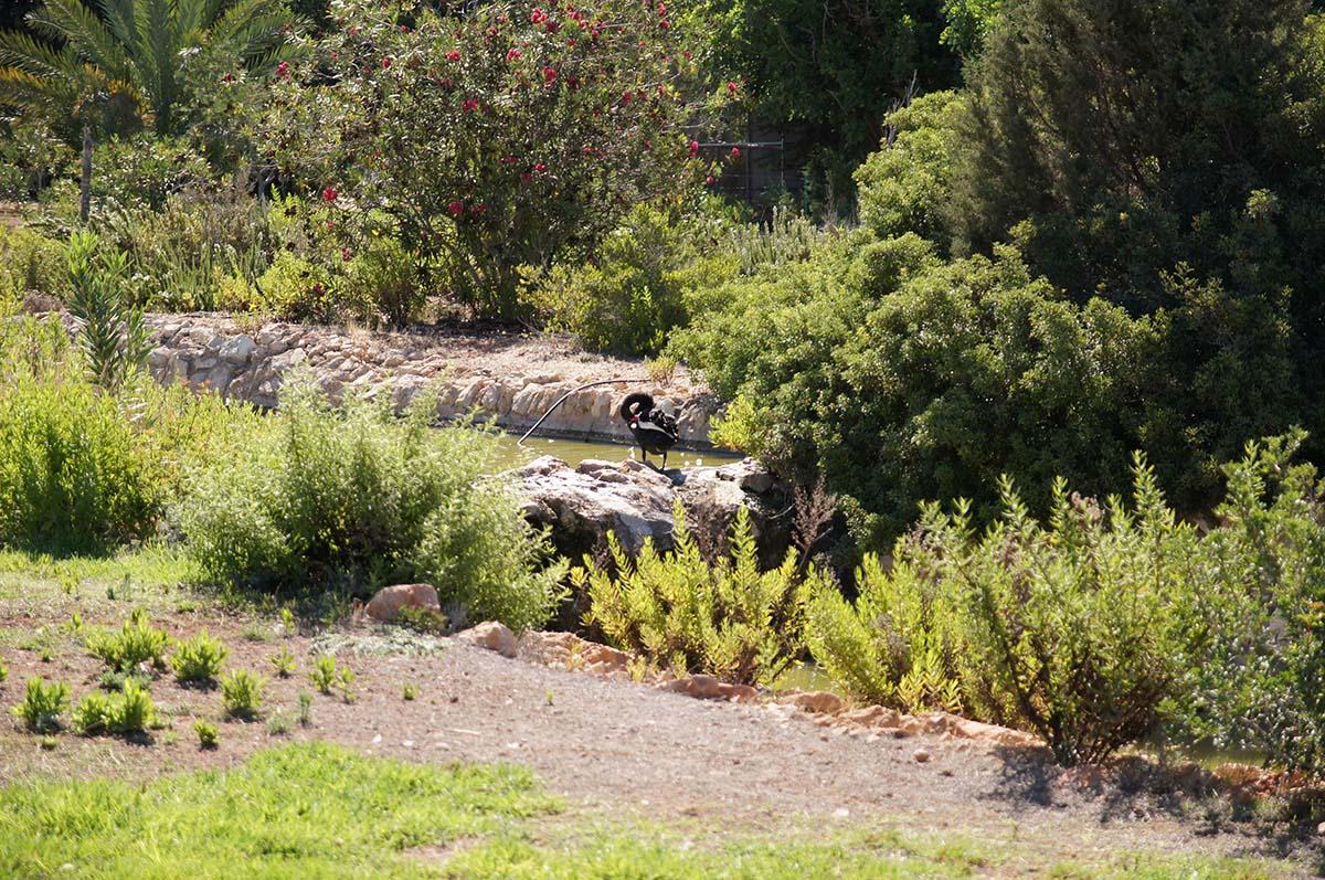 Черная птица на камне, Cyprus Paphos zoo, Кипрский зоопарк, Пафос