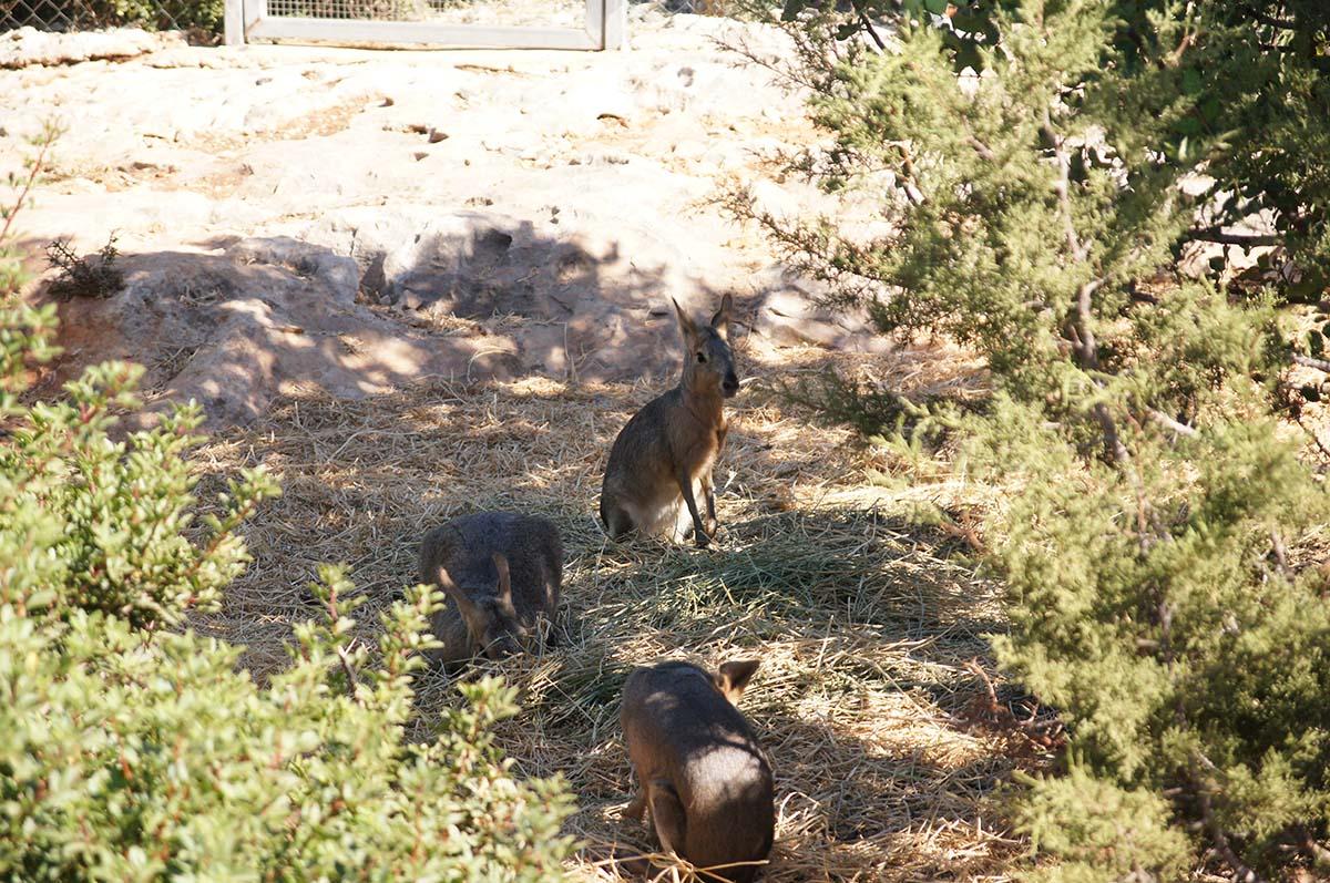Кенгурята, Cyprus Paphos zoo, Кипрский зоопарк, Пафос
